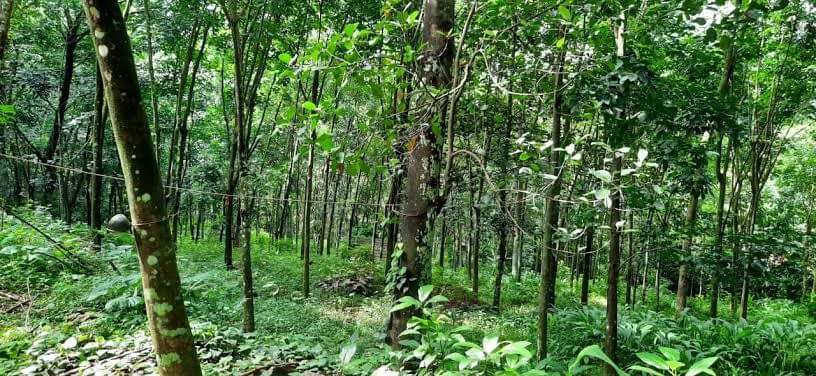 66 Cents Residential Land with Rubber trees for sale in Kadappoor, Kattachira, Kottayam
